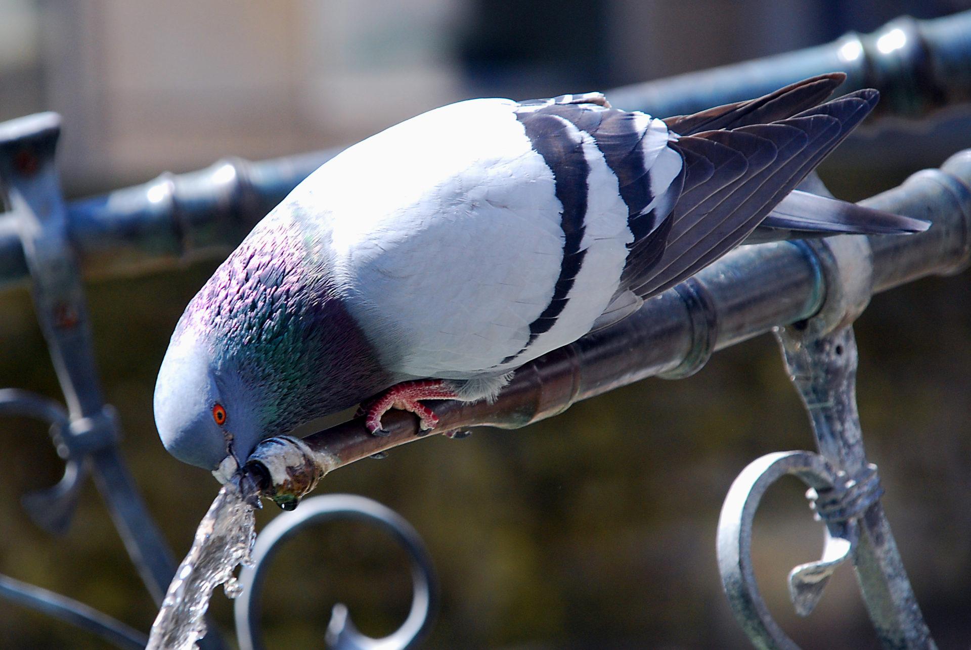 Trinkende Taube